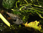 A Great Pond Snail approaching a decaying leaf
